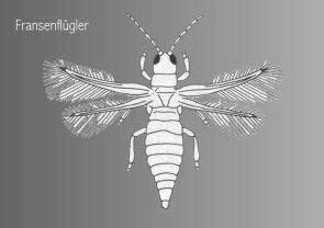 Thysanoptera insektenfibel hemimetabole fluginsekten fransenflügler