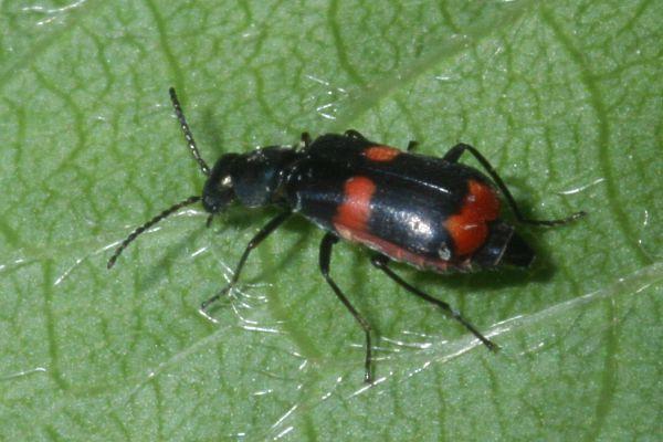 kleine rote k fer insect stockfotos insect bilder alamy. Black Bedroom Furniture Sets. Home Design Ideas