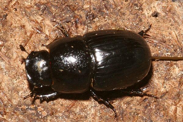 insektenbox grosser dungkaefer bild