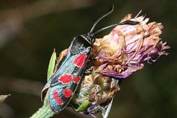 gemeine skorpionsfliege rote liste