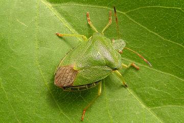 Grüne stinkwanze insekte marienkäfer insekte regenwurm würmer