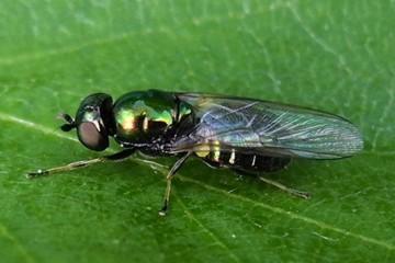 fliege grün schillernd